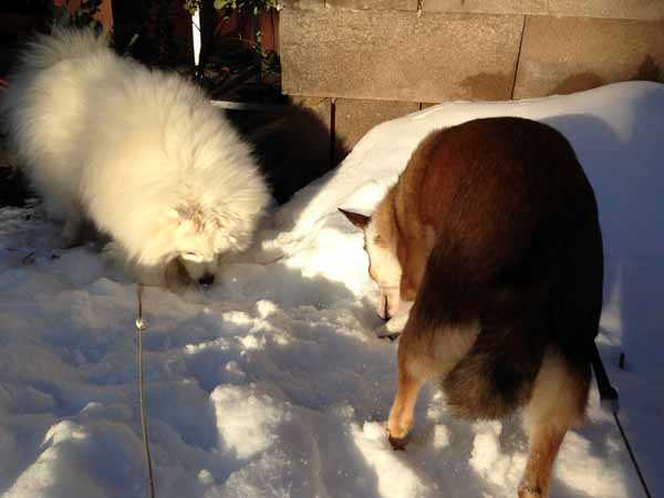 Poju ja Deea kaivelee innoissaan lunta.