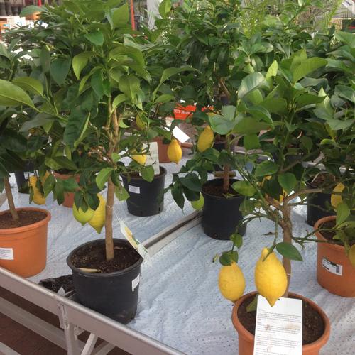 Myös Plantagen myi saman kokoisia sitruunapuita 20€ kalliimmalla hinnalla. Onneksi käytiin eka Ikeassa ;) Tosin en mä tota kalliimpaa hintaa olisi tuosta puusta maksanutkaan.