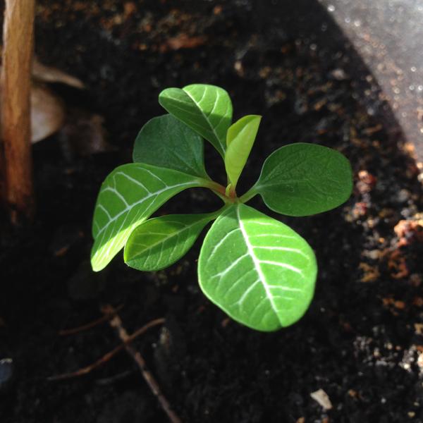 Tyräkki on tehnyt kolme pentua, olen niitä siemeniä iskenty ihan onnettoman surkeaan multaan jonkun puolikuolleen kasvin juurelle. Ehkä näille pitäisi antaa parempi multa ja omat ruukut. :)