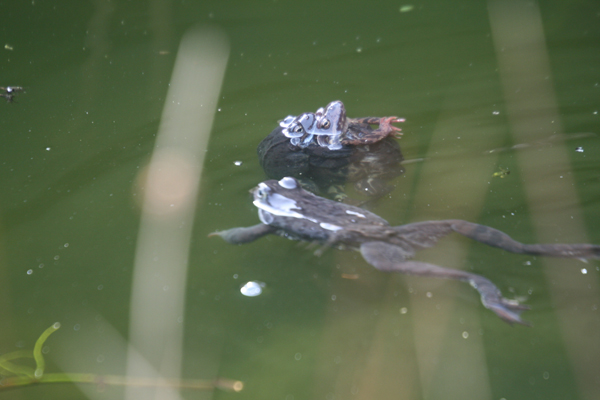 Sammakkojen ryhmähali ja neljäs sammakko kävi tuota kolmikkoa tervehtimässä (tai kiusaamassa).