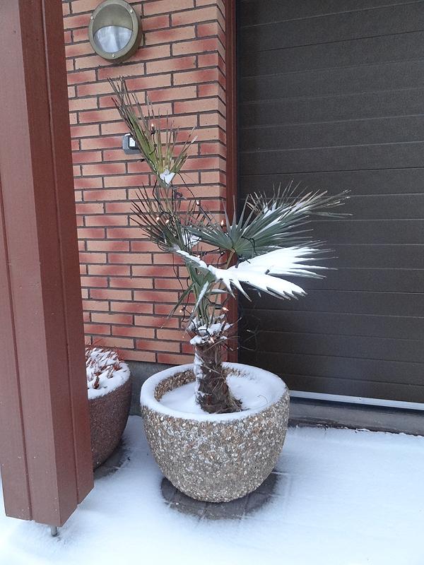 Palmu sinnittelee lumisena. Pariksi yöksi tuo on tarvinnut peittää tän talven aikana, mutta voi olla ettei tarvi sisälle raahata koko talven aikana...