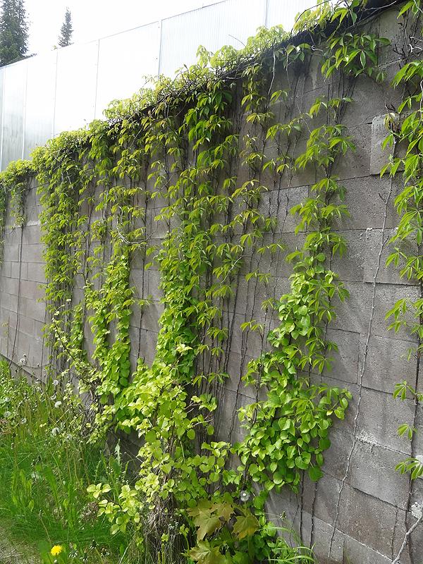 Viiniköynnös kasvaa hienosti puutarhan ulkoseinällä.