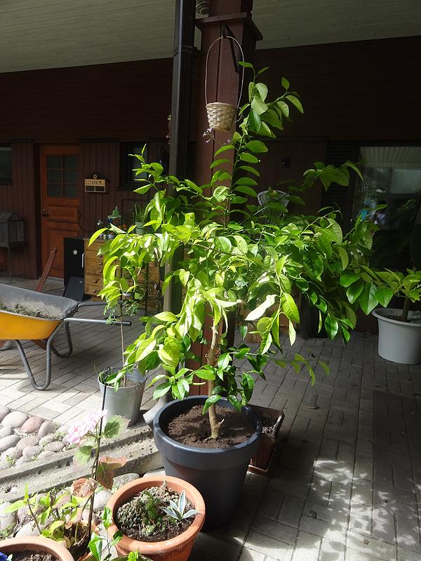 Isoin ja vanhin sitruspuu.