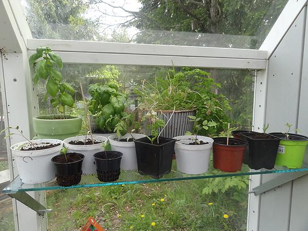 Tällä hyllyllä kasvaa basilikaa ja tomaatintaimia.