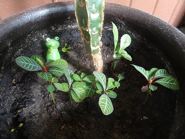 Vanhan tyräkin juurella kasvaa vauvoja, joita voisi kyllä siirrellä omiin ruukkuihinsa. To do -listalle!