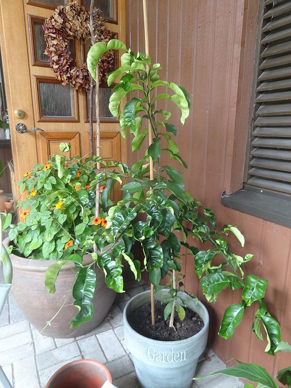 Yksi iso sitruspuu on tässä. Epäilen greipiksi, mutta en muista minkä hedelmän siemenestä on kasvanut.