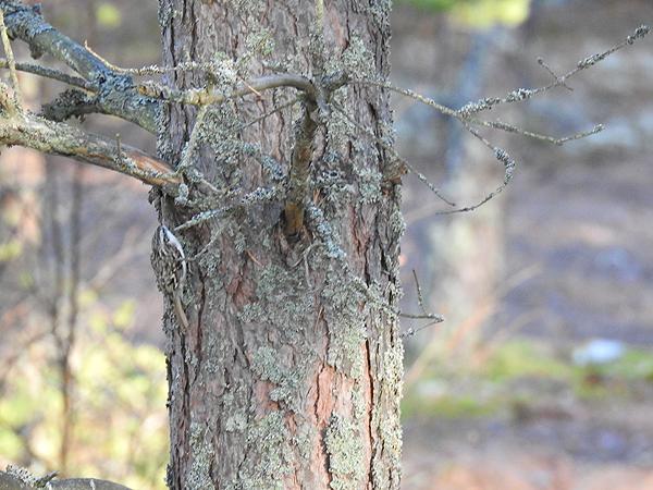 Puukiipijä oli sairaan nopea ja koko ajan puiden väärällä puolella. Mutta on tuossa yksi kuva siitä. Jos siis löydätte kuvasta linnun :D